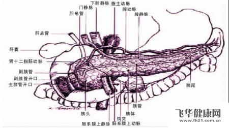 胰腺组织结构图