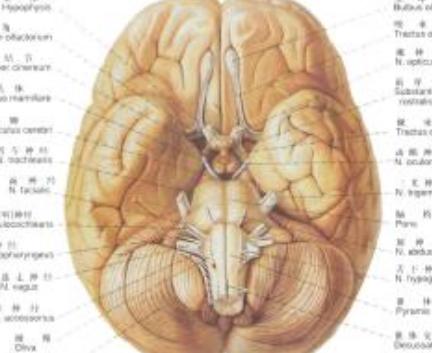 脑瘤在病理上有:神经胶质瘤(包括髓母细胞瘤、多形性胶质母细胞瘤、星开形细胞瘤、少突神经胶质瘤、室管膜瘤)、脑膜瘤、听神经瘤、脑血管性肿瘤(包括脑   血管畸形   、脑血管母细胞瘤)、颅咽管瘤、垂体   腺瘤   、胆脂瘤、松果体瘤、第三脑室胶质囊肿、颅内