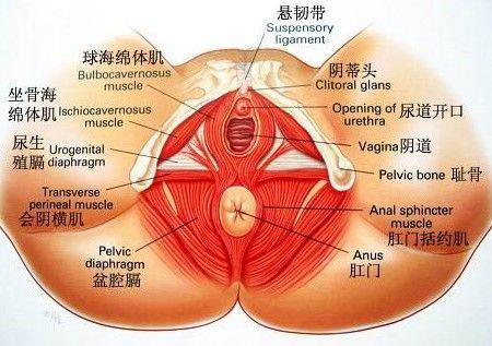 子宫体解剖结构图
