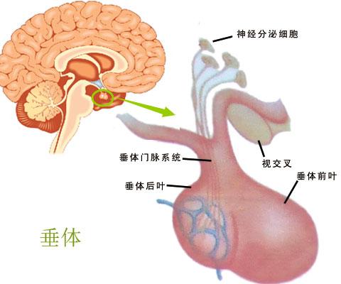 垂体瘤的发生由哪些原因导致