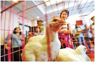 喂多种抗生素速生鸡或将致人类无药可用