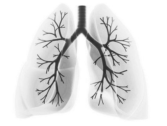 肺的结构图
