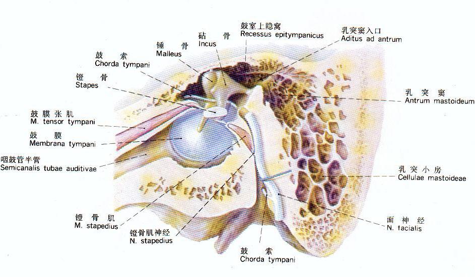 鼓室部位解剖示意图