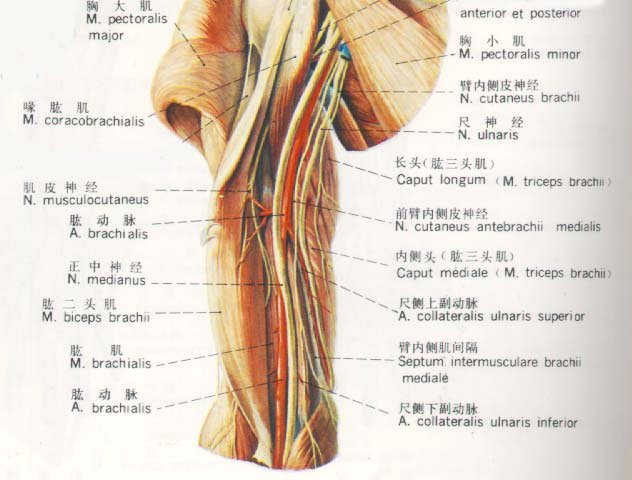 臂部神经血管解剖图
