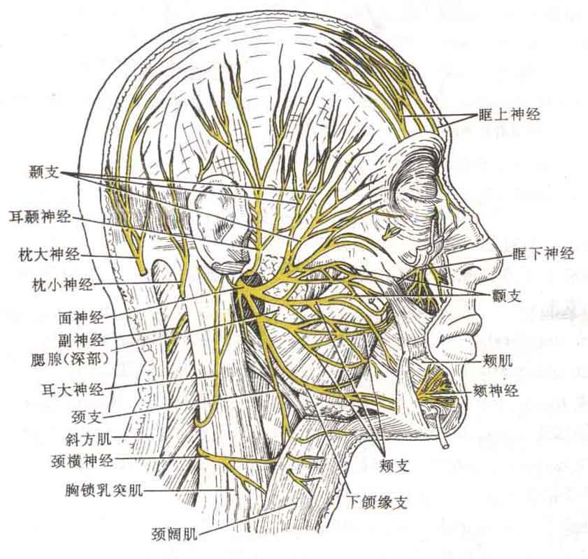 面部神经分布示意图