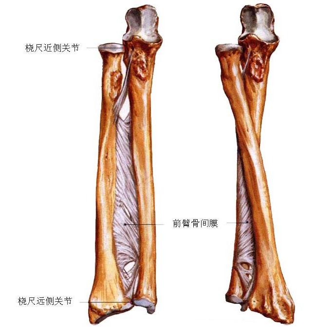 前臂骨间膜解剖图