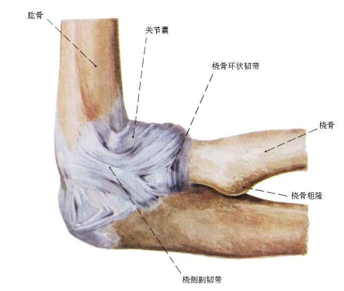 肘关节解剖示意图
