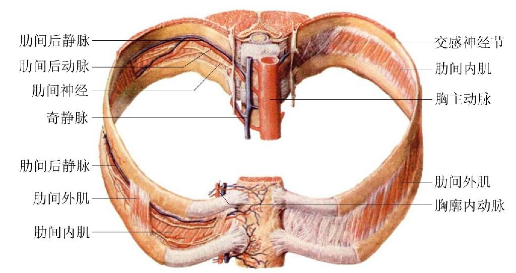 胸主动脉解剖示意图
