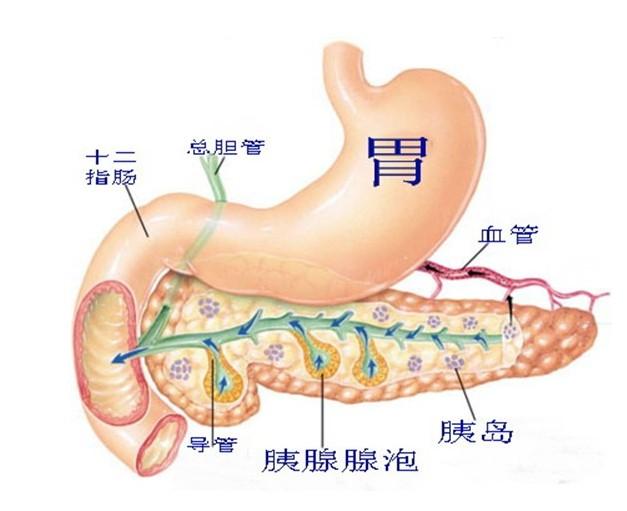 胆道胰腺和十二指肠解剖