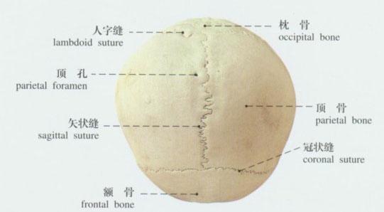 正常头颅解剖示意图