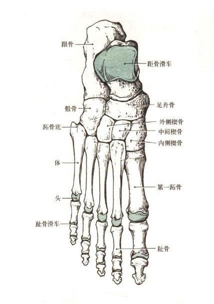 足骨部位解剖示意图