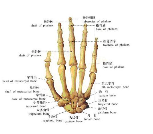 人体手骨解剖示意图