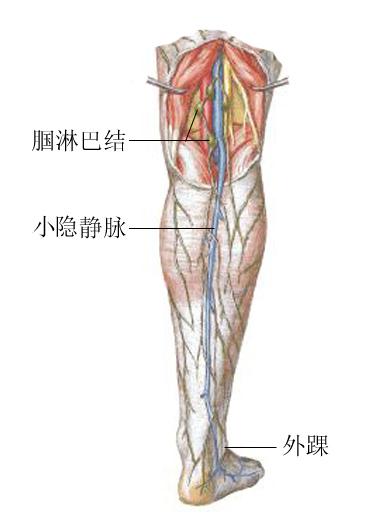 小隐静脉解剖示意图