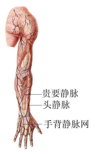 上肢浅静脉解剖示意图