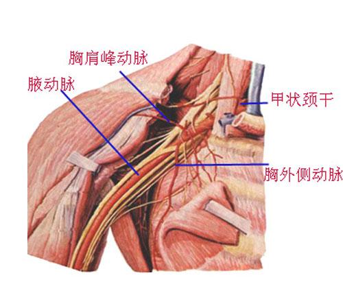 腋窝部位解剖示意图