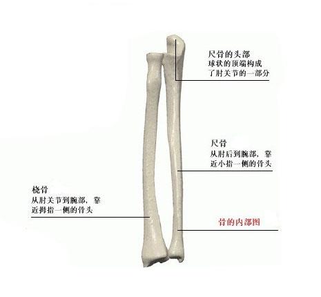 人体前臂骨解剖示意图