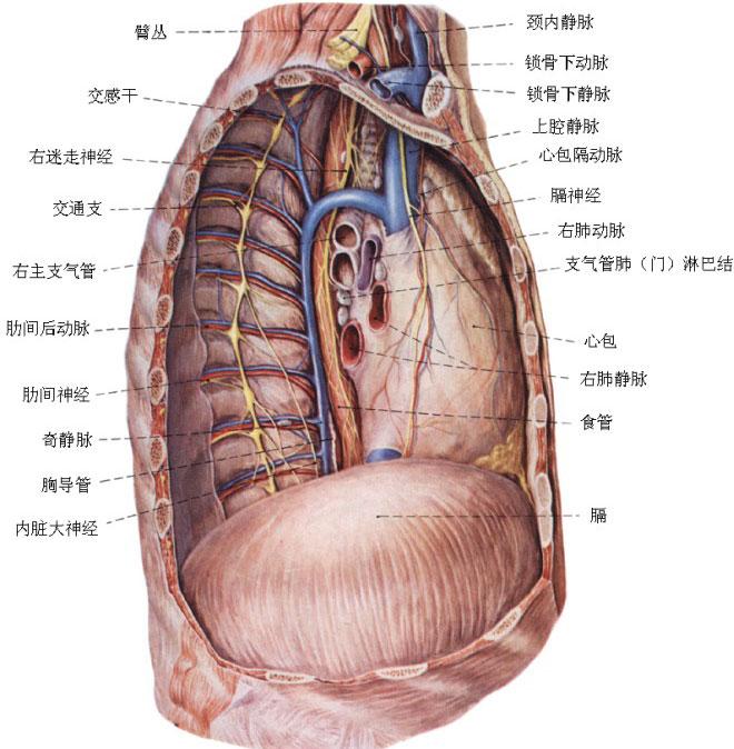 胸部静脉解剖示意图