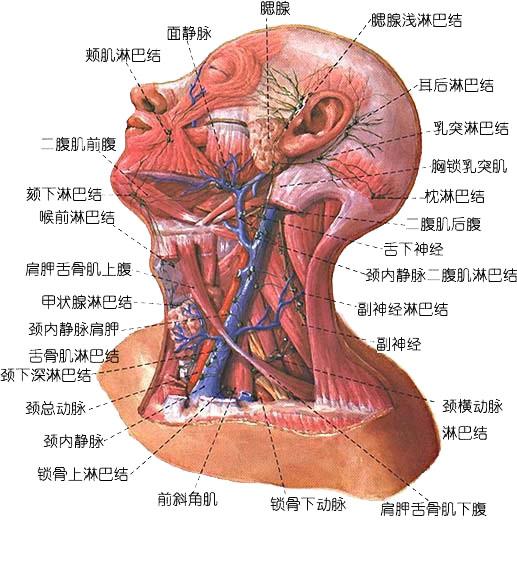 头颈部静脉解剖示意图