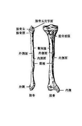 人体小腿骨解剖示意图