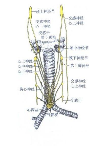 心的神经解剖示意图
