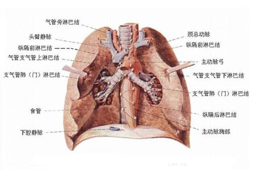 正常纵隔解剖示意图