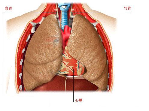 胸部器官解剖图