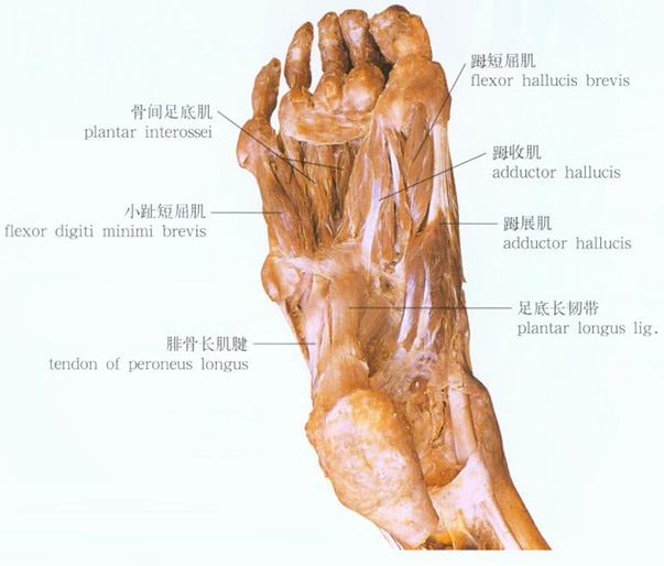 足部肌肉解剖示意图