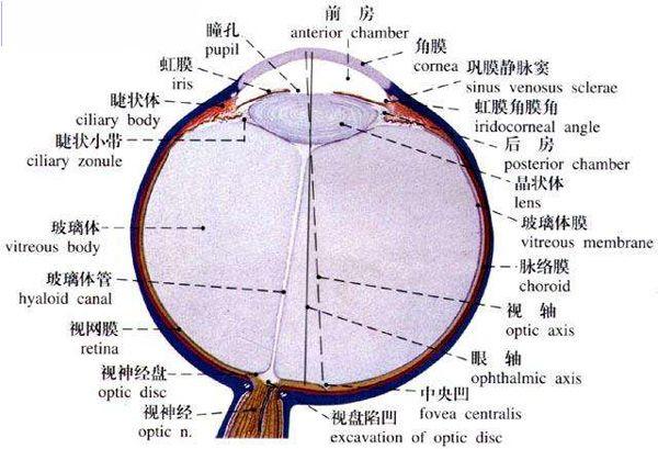 人体眼球解剖示意图