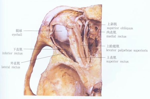 眼球外肌解剖示意图