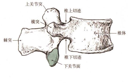 人体腰椎解剖示意图