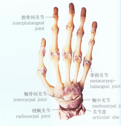 手关节解剖示意图