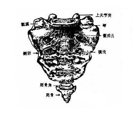 正常人体骶骨解剖图