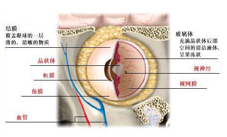 人体眼睛内部解剖图