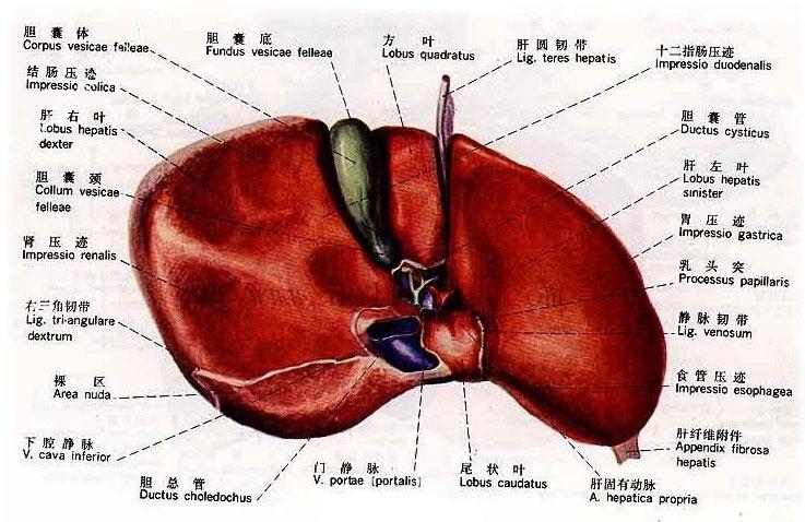 正常人体肝脏解剖图