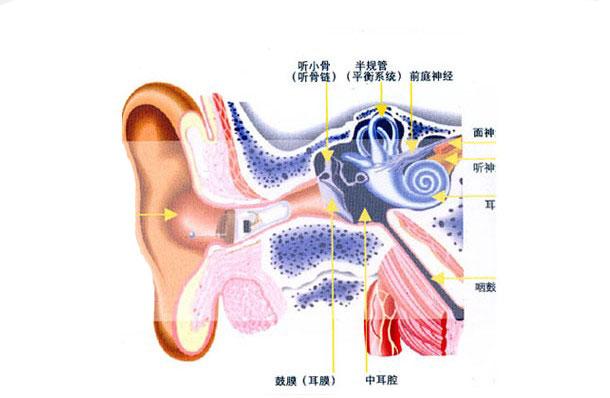 人体耳朵结构示意图