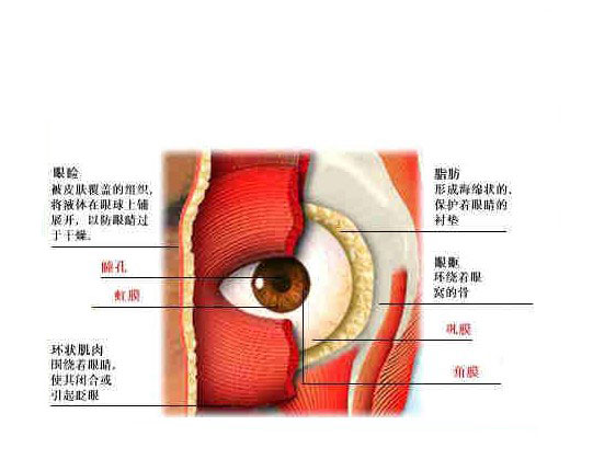 正常人体眼睛解剖学
