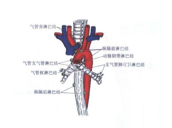 人体纵隔解剖图谱