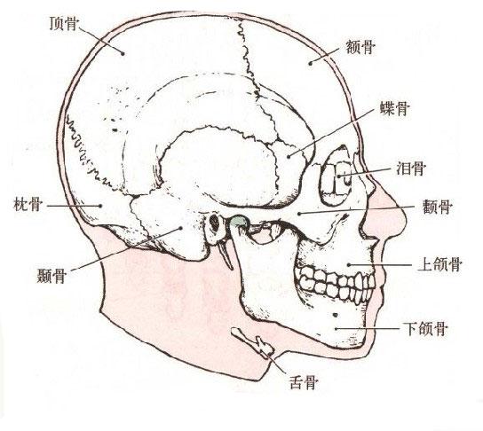 人体颅骨解剖图谱