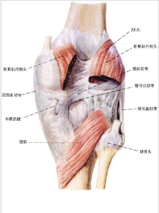 人体膝关节解剖图解