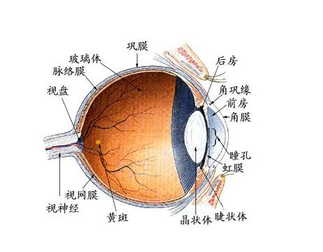 眼睛结构示意图