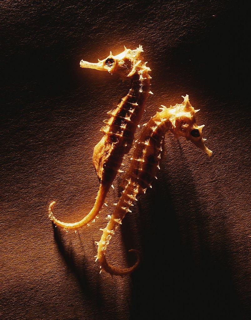 海马,鱼纲,海龙目,海马属动物的总称,属于硬骨鱼.