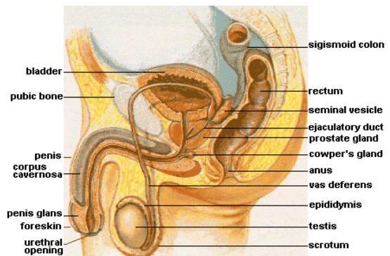 睾丸附件炎的危害